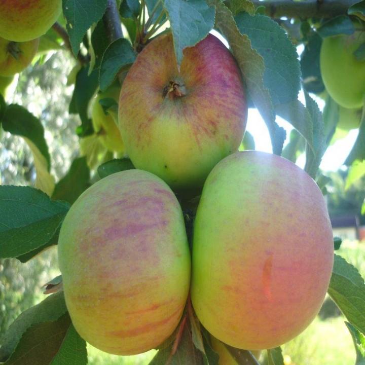 Малюха сорт колоновидной яблони