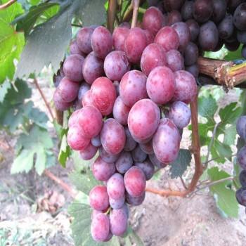 Саженцы винограда Сенатор из Крыма