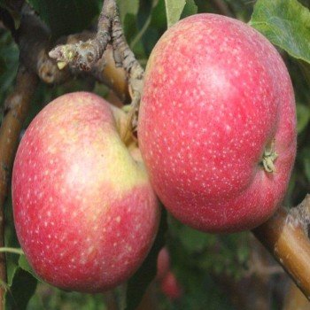 Саженцы яблони Эмбесси из Крыма