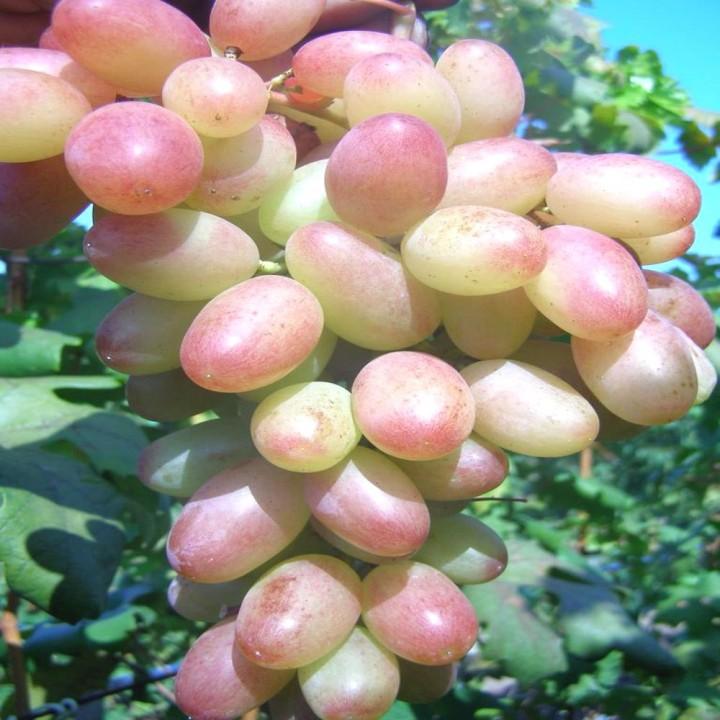 Танюша сорт винограда