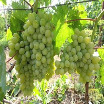 Саженцы винограда Гарольд из Крыма