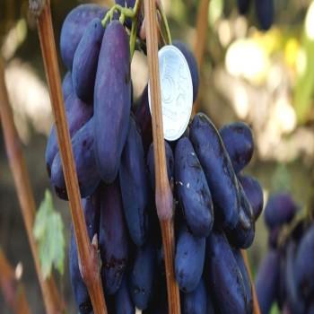 Саженцы винограда Изюминка из Крыма