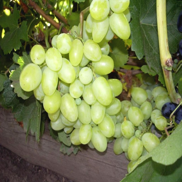 Фаберже сорт винограда