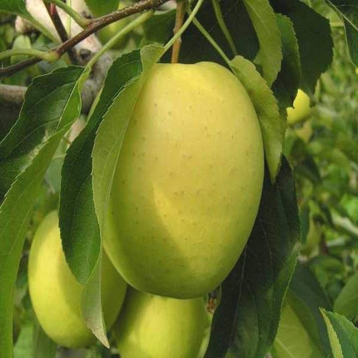 Голд Крым сорт яблони