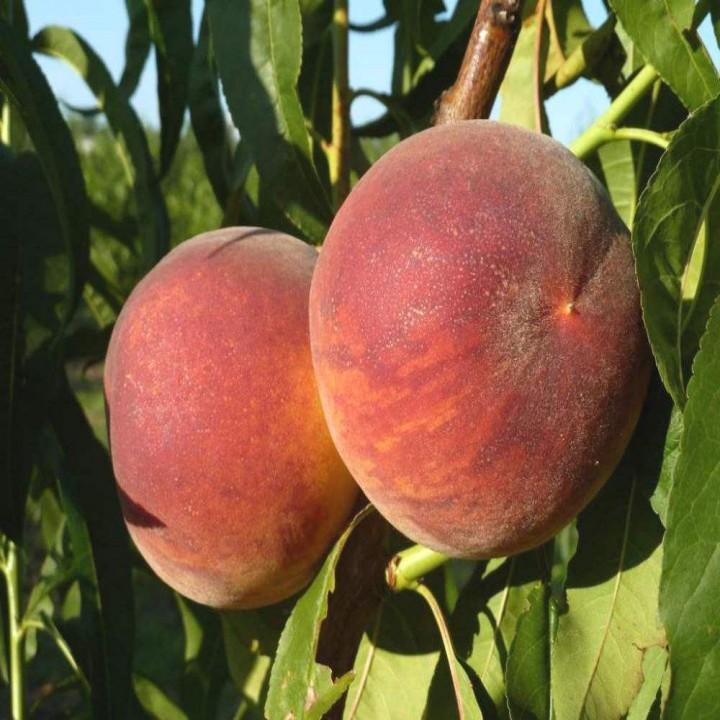 T-2 Твард Твардив сорт персика