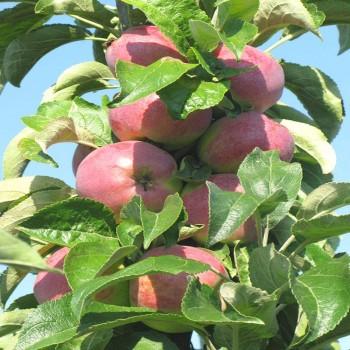 Саженцы колоновидной яблони Трайдент из Крыма