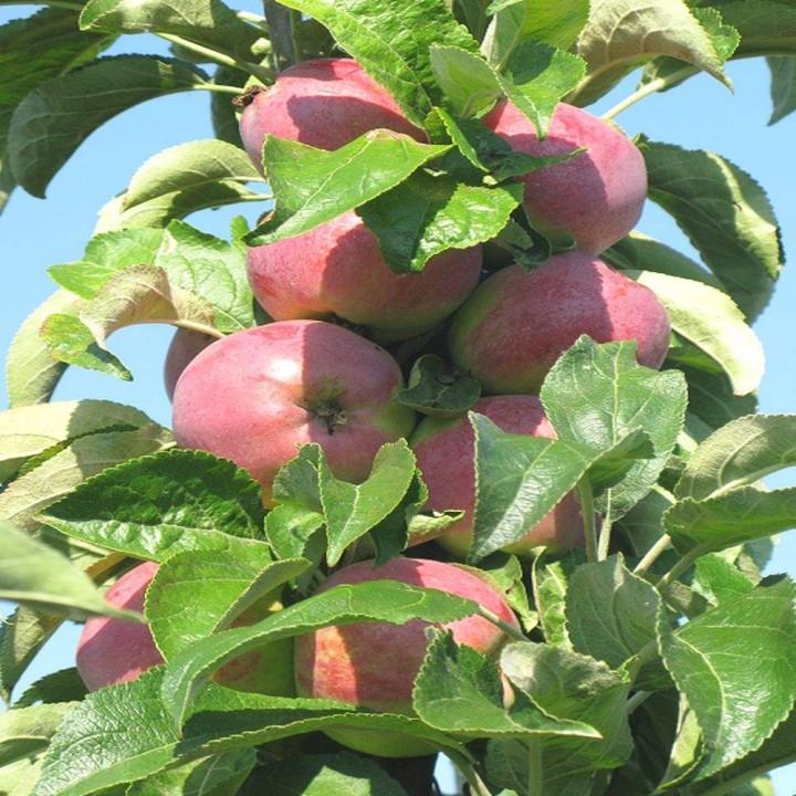 Трайдент сорт колоновидной яблони