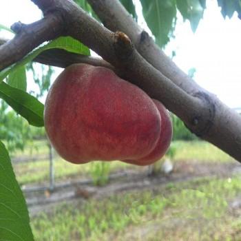 Саженцы инжирного персика Свит Карп из Крыма