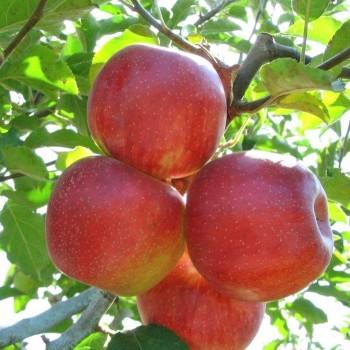 Саженцы яблони Декоста из Крыма
