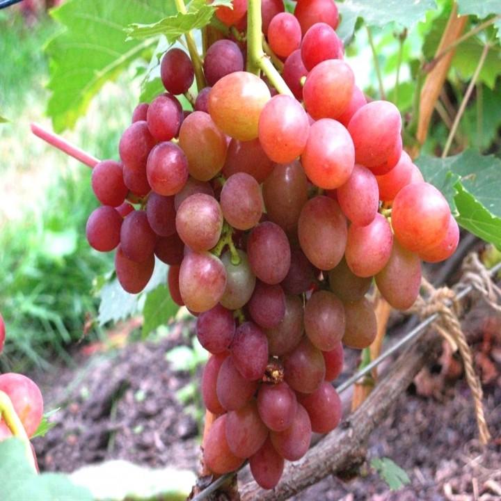 Блестящий сорт винограда